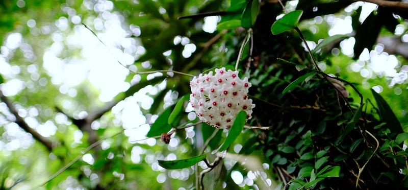"""造花よりなお""""作り物っぽい""""植物「サクララン」咲いてました!【沖縄の野生植物】"""
